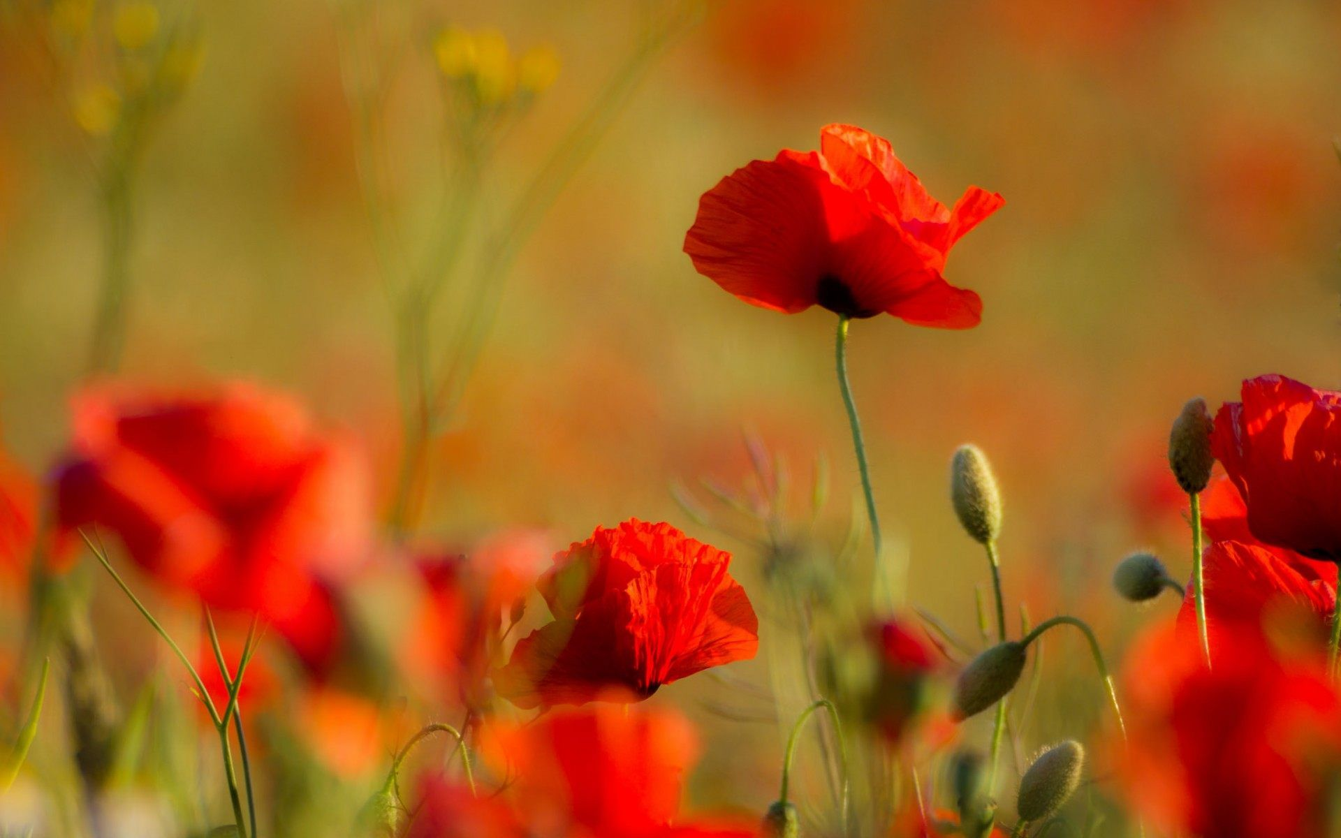 Red Poppy Garden Flower Wallpaper for desktop and mobile in high