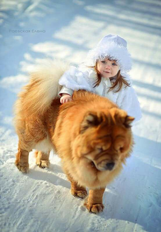 Little Girl And Chow Chow Dog In The Snow Chow Chow Dogs Chow