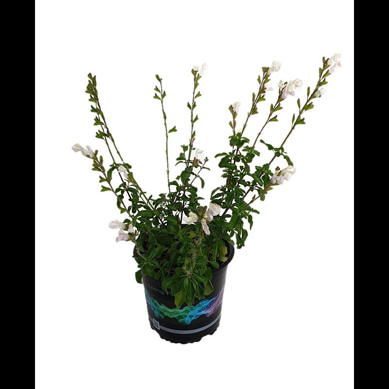 130mm Salvia Heatwave Glare Salvia Hybrid Bunnings Warehouse Salvia Perennial Plants How To Attract Birds