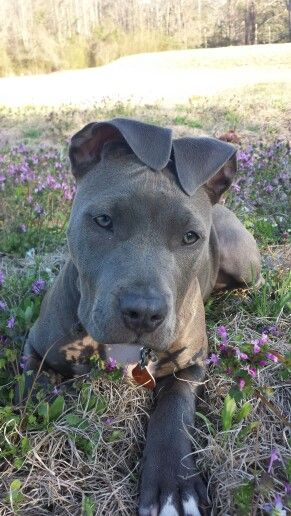 Blue Fawn Pitbull Kept The Ears Precious Baby Blue Fawn Pitbull