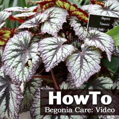 How To Care For A Begonia Video Begonia Garden Plants Plants