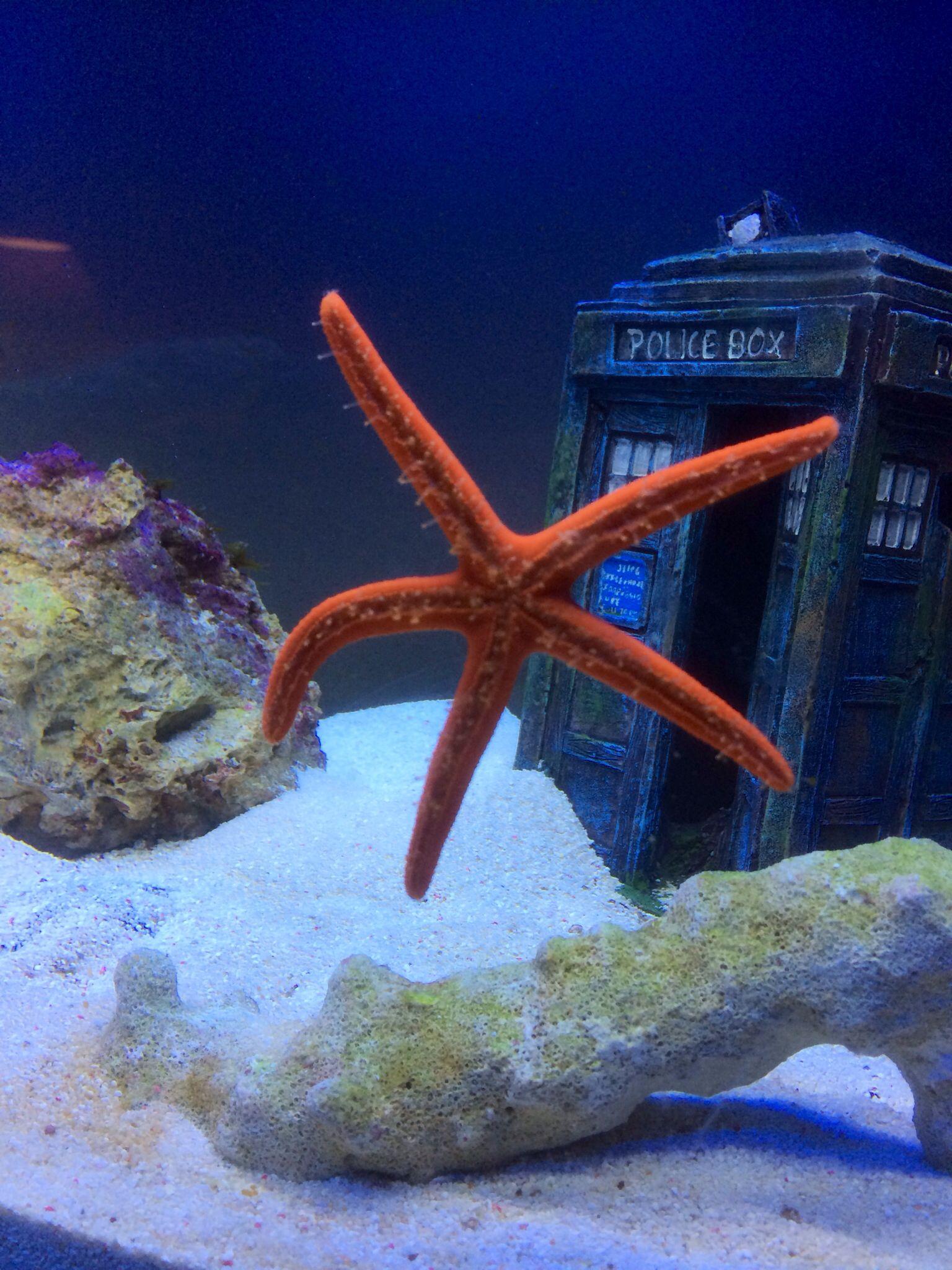 orange linckia star fish sea star tank awesome pinterest