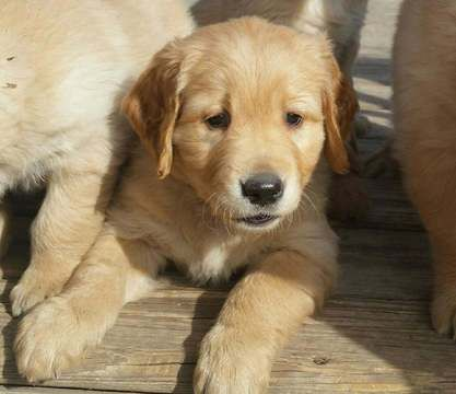Golden Retriever Puppy For Sale In Lyons Ks Adn 46035 On