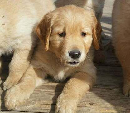 Golden Shepherd Puppies For Sale Greenfield Puppies Puppies