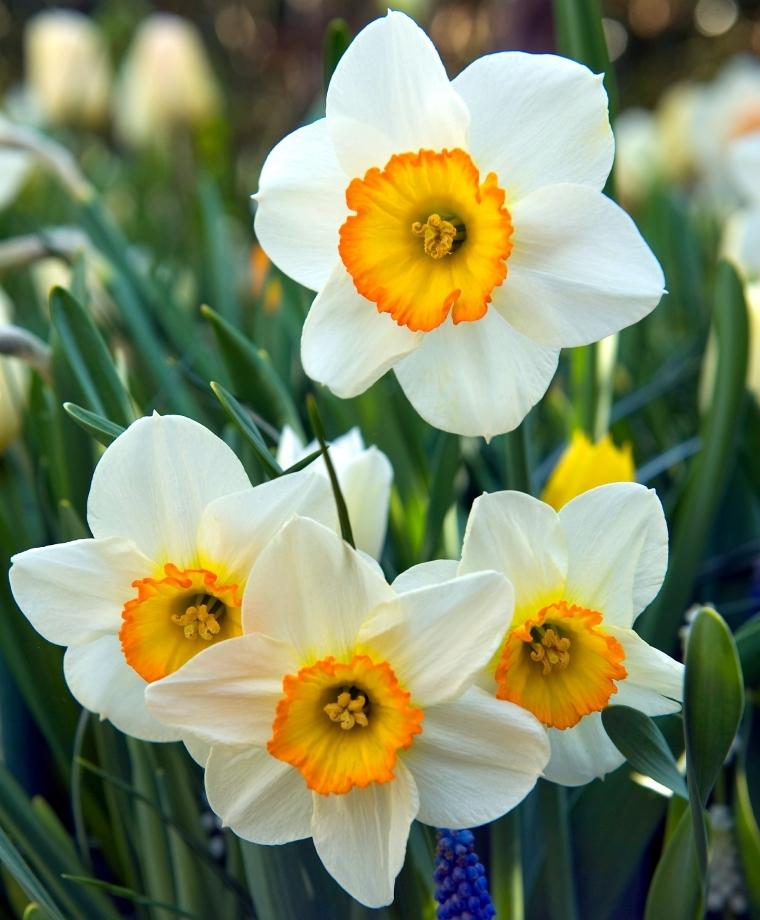 Narcissus Flower Record Narcissus Flower Narcissus Flower Tattoos Narcissus