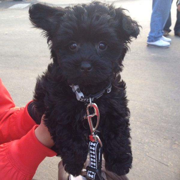 Yorkiepoo Our Jack 4yrs Still Looks Acts Just Like A Puppy Black Yorkie Poo Yorkie Poodle Yorkie Poo