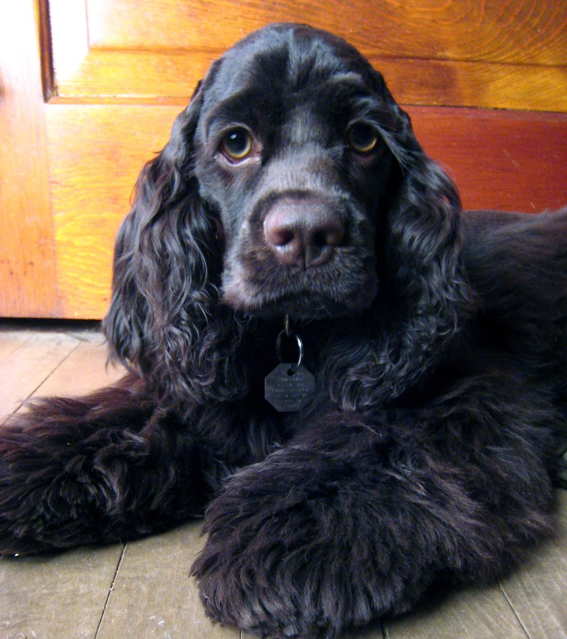 My Madison American Water Spaniel Dogs American Cocker Spaniel