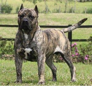 Vindem Cane Corso Dogo Canario Bullmastiff Dog De Bordeaux