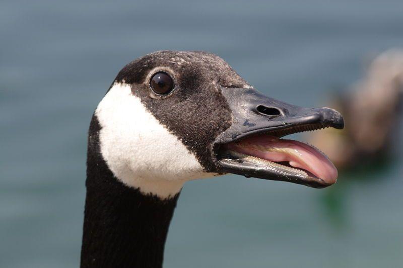 Canadian Geese Bing Images Canadian Goose Canada Goose Goose