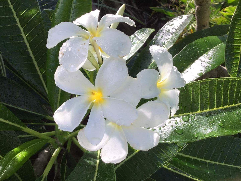 Plumeria Obtusa Evergreen Frangipani Frangipani Plumeria Flowers