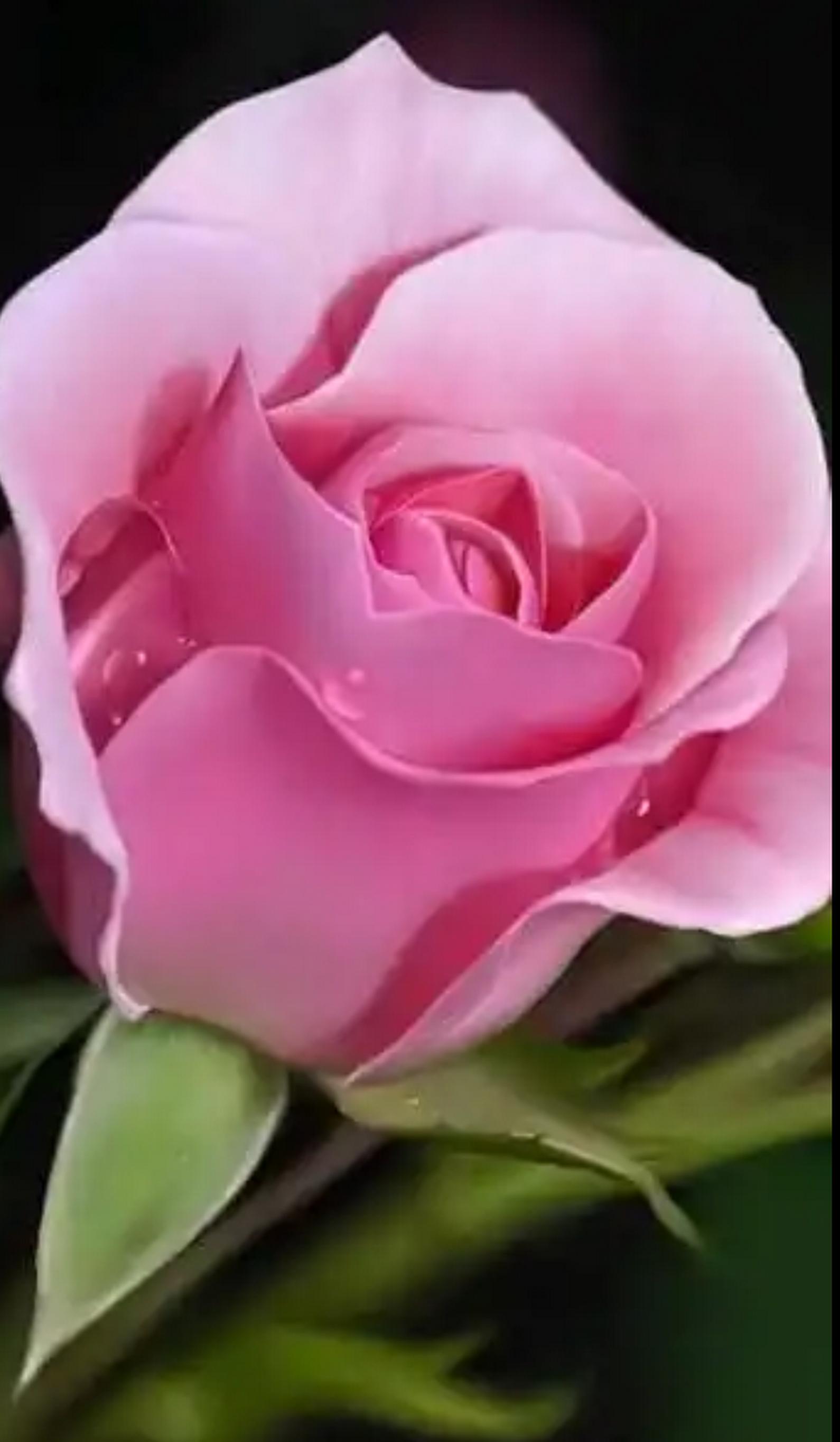 Anam Ahmad Google+ Flowers, Hybrid tea roses