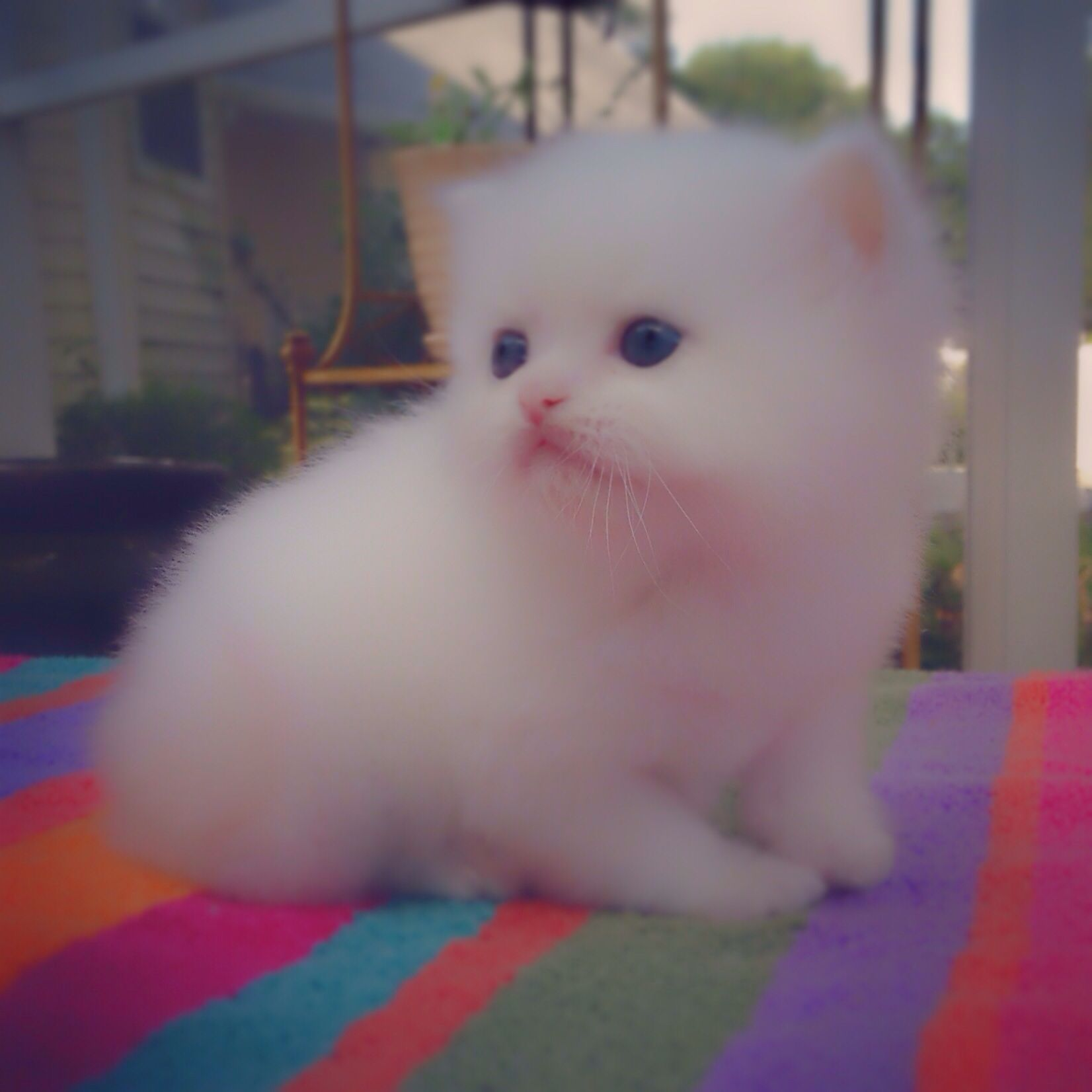 For Sale Ex Small ( Teacup/Toy ) White Doll Face Kitten