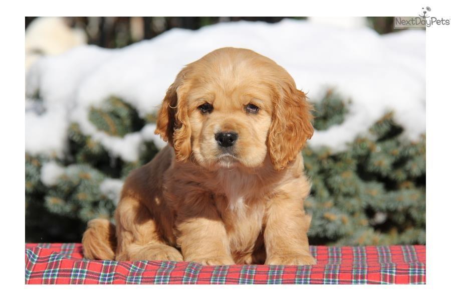 Moe / Cocker Spaniel | Cocker Spaniel puppy for sale near Lancaster, Pennsylvania | a800c9d5-2231