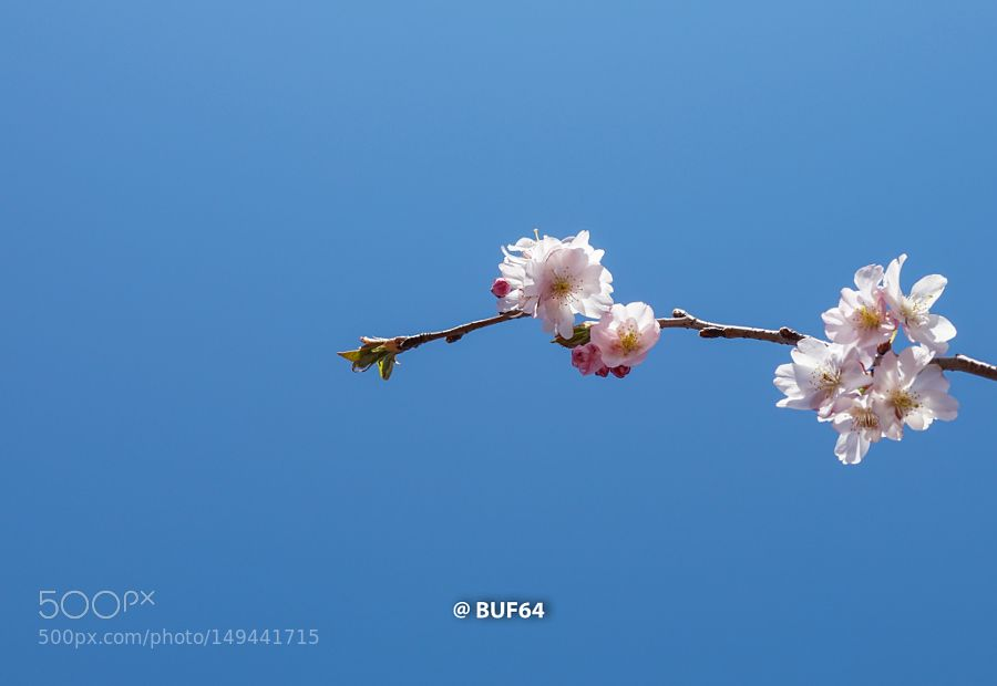 Cherry Blossom Boston by buf64