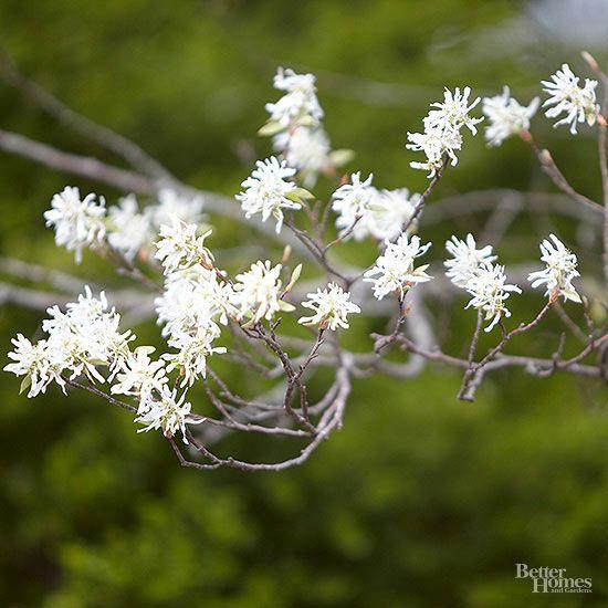 Arbustos para cultivo en sombra Arbustos, Cultivar y Sombras