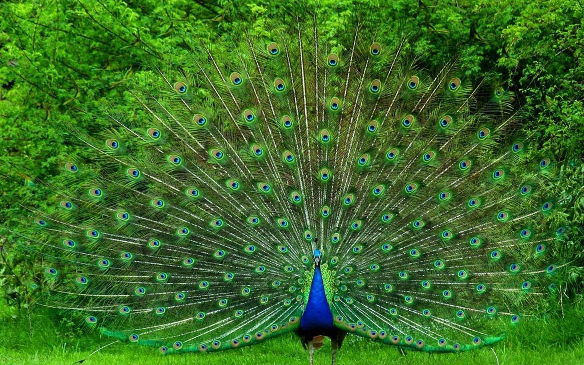 Imagenes de pavos reales hermosos