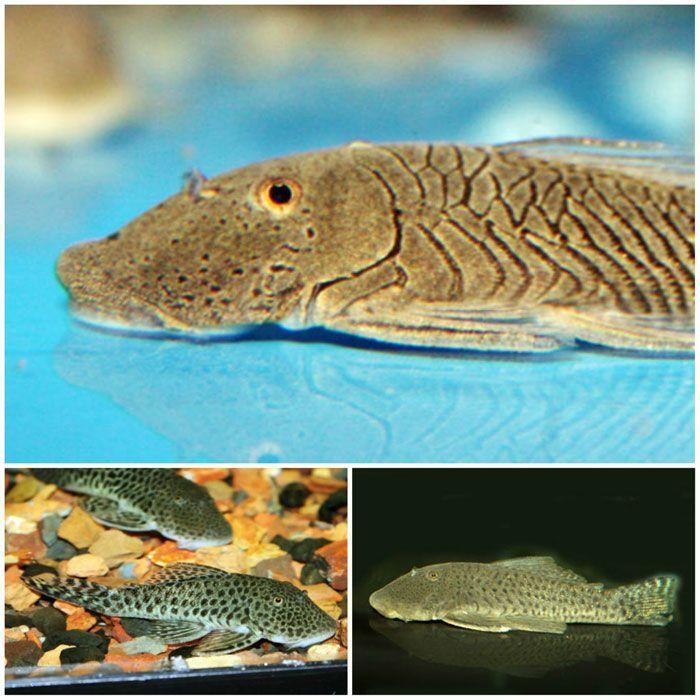 Rubbernose Plecos That Fish Place Tropical Fish Catfish Fish