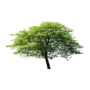 Isolated Tree On White Background Tree Green Isolated Png Transparent Clipart Image And Psd File For Free Download White Background Tree Silhouette Tree