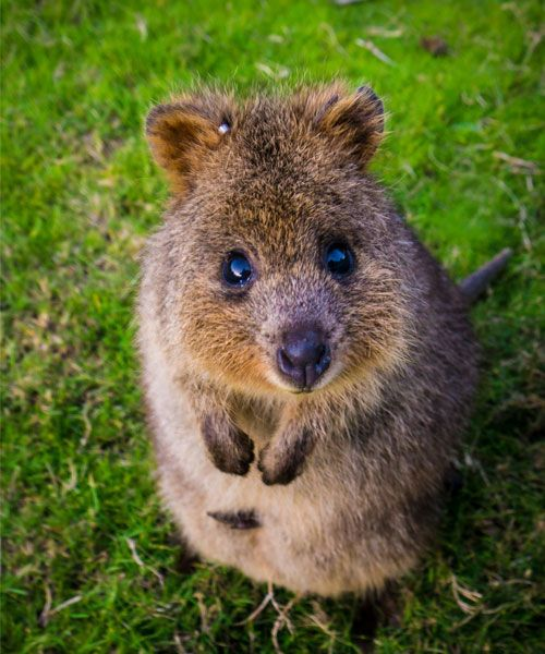 Animals That Start With Q Hhere Is A List Of All The Animals We Have Found Starting With The Letter Q The Quokka Setonix Quokka Cute Animals Happy Animals
