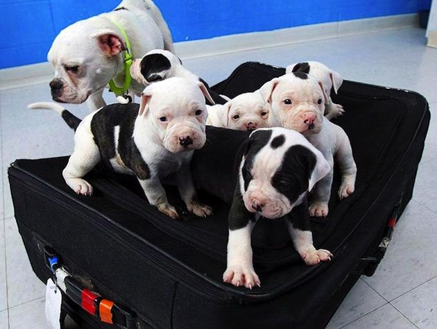 Six Bulldog Puppies Rescued From Locked Suitcase Bulldog Puppies