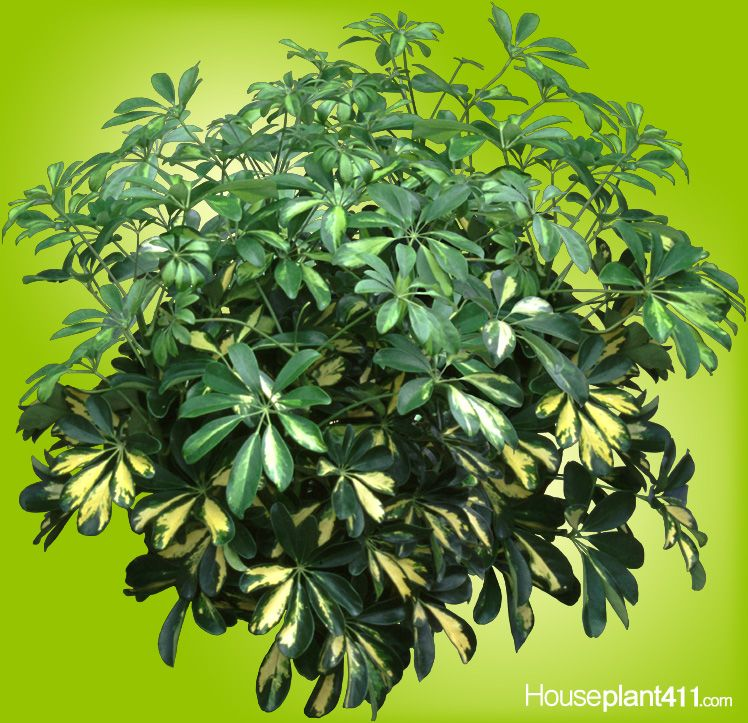 Umbrella Plant Toxic: Hawaiian Scheffleras Slightly #poisonous #houseplants But