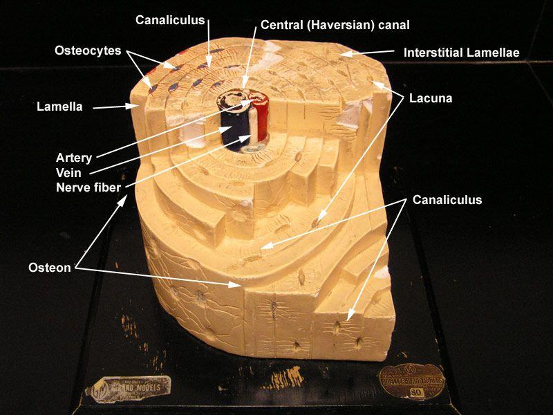 bone model labeled bone model with labels nursing anatomy Volkmann's Canal Diagram