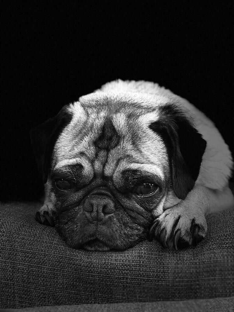 Pin By Janelle Macintosh On Pug Galore Pugs Pug Love Raining