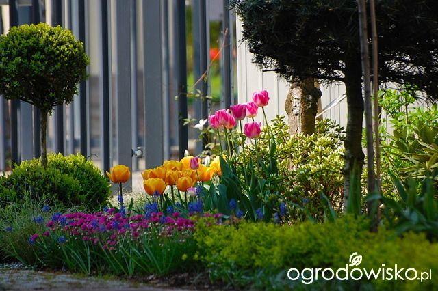 Ogrod Wiosenny Wiosna W Ogrodzie Tulipany Iglaki Ogrod Garden Kwiaty Flowers Plants Garden Inspiration