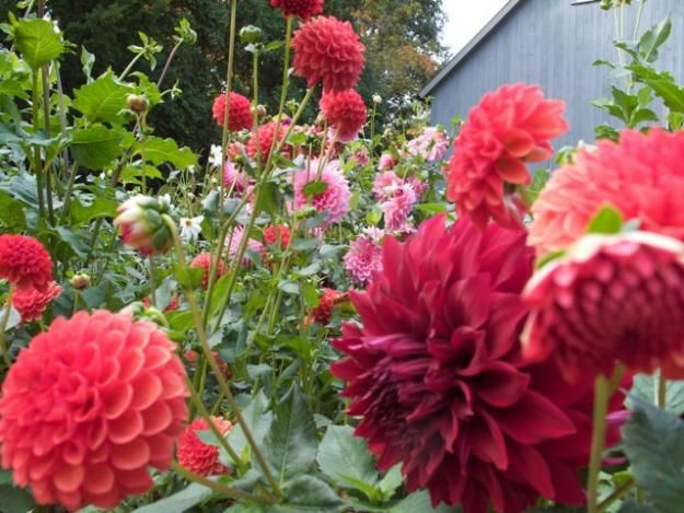 Growing Dahlias Planting Caring For Dahlia Flowers Flower Garden Design Growing Dahlias Dahlias Garden