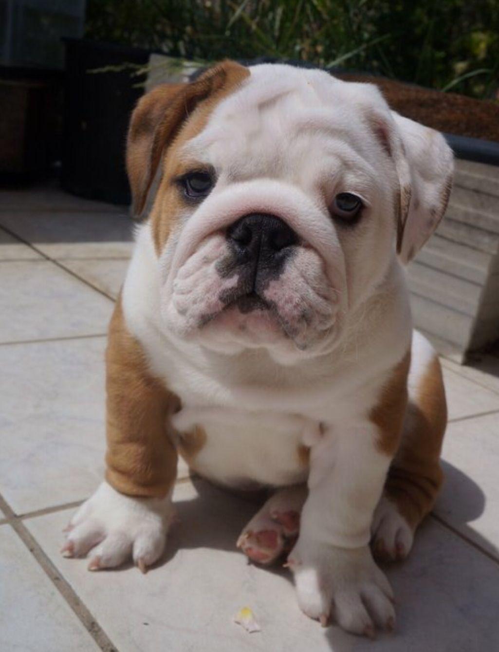 Lovely Renaissance Bulldog Bulldog Breeds Olde English Bulldog Puppies Bulldog Dog