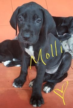 Litter Of 5 Great Dane Puppies For Sale In Buford Ga Adn 35062