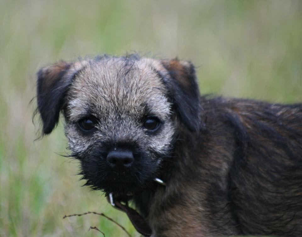 Border Terrier Puppy Border Terrier Terrier Breeds Dog Breeds