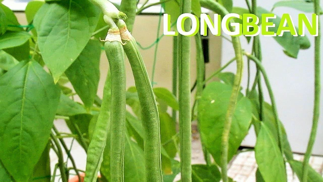 Growing Snake Bean From Seeds Growing Plants From Seeds