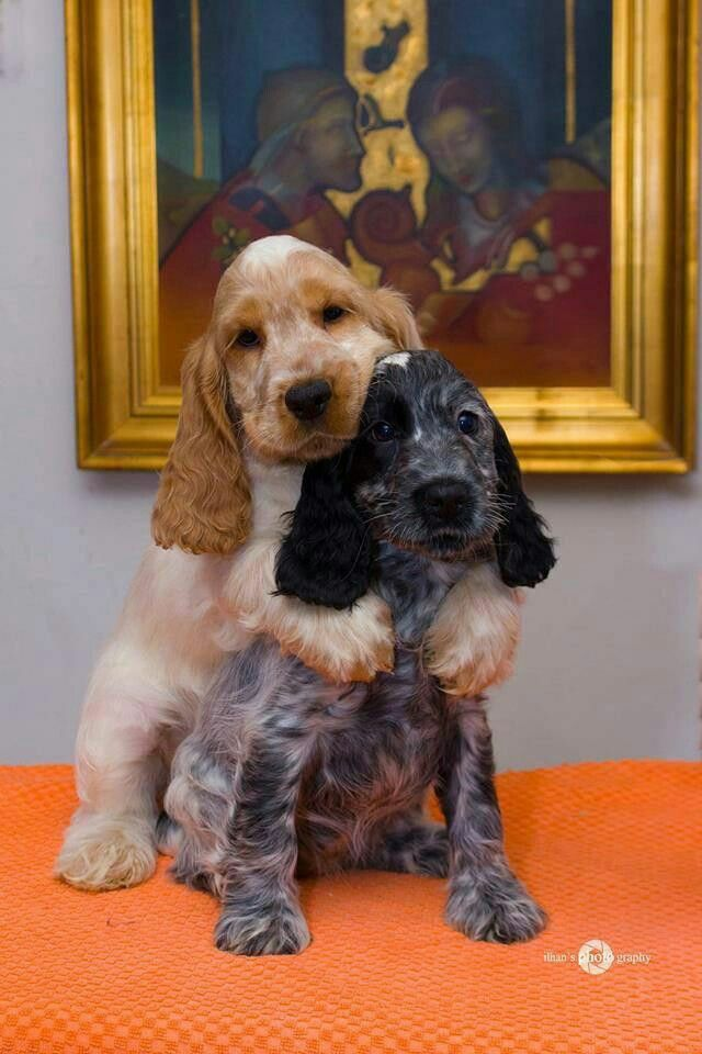 Pin By Paul Danhaus On English Setter Puppies Dogs Puppies Cocker Spaniel Dog