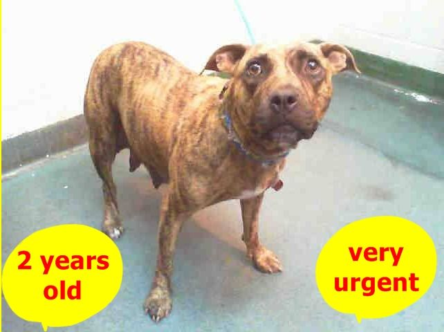 Urgent Dogs of Miami · MOMMA JO (A1669806) I am a female brown brindle and white Labrador Retriever and American Bulldog. The shelter staff think I am about 2 years old. I was found as a stray https://www.facebook.com/urgentdogsofmiami/photos/pb.191859757515102.-2207520000.1419980378./899716696729401/?type=3&theater ++++al always all babies adopted and MOM left behind+++++++
