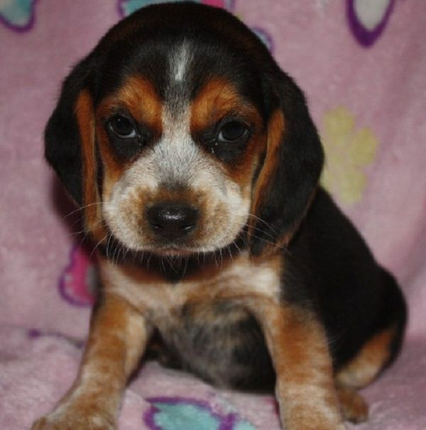 Beagle Puppies For Sale In Sc Zoe Fans Blog Puppies Beagle