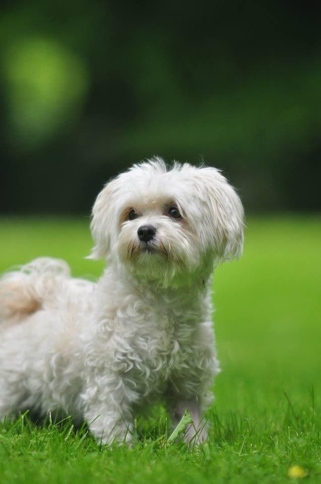Bolonka Maltese Puppy Maltese Dogs Dogs