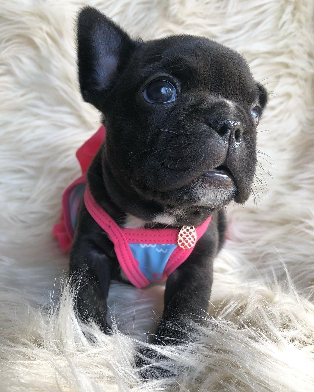 My Favourite French Bulldog Puppies Bulldog French Bulldog