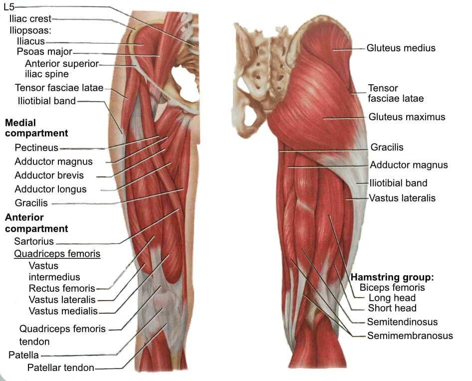 Image Result For Hamstring Adductors Anatomy Pinterest Leg