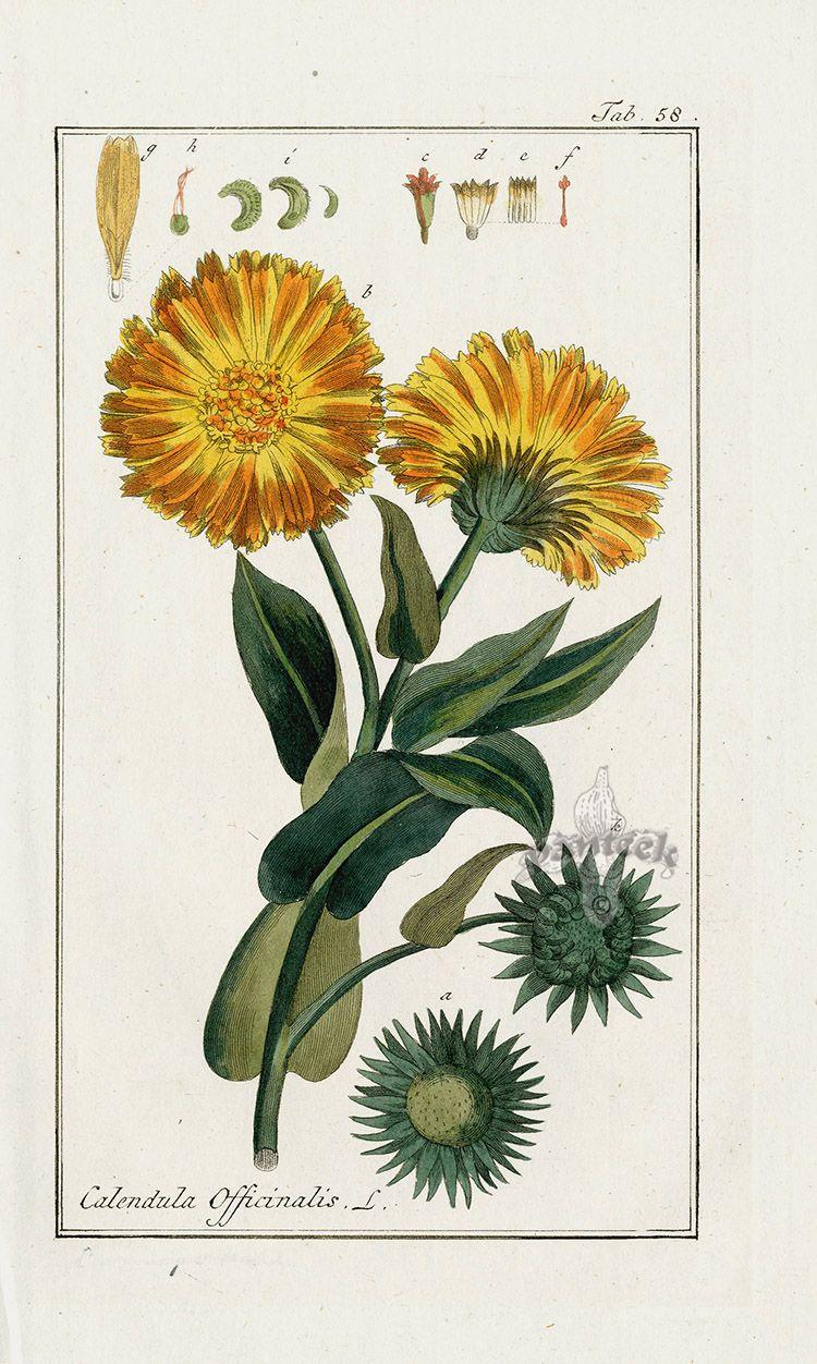 Calendula officinalis from Medicinal Plant Engravings by