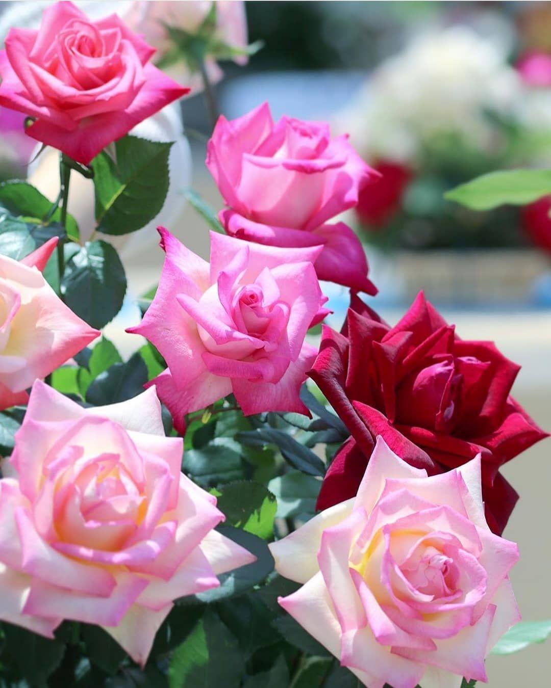 #happydays 💜💚❤ . #flower #roses #lovestory #gardendesign #nature_perfection #naturelovers #flowergarden #doğa #gül #çiçek #9vaga9 #photography #beautifull #follow #doğasevgisi #instalike #istanbul #turkey #europe