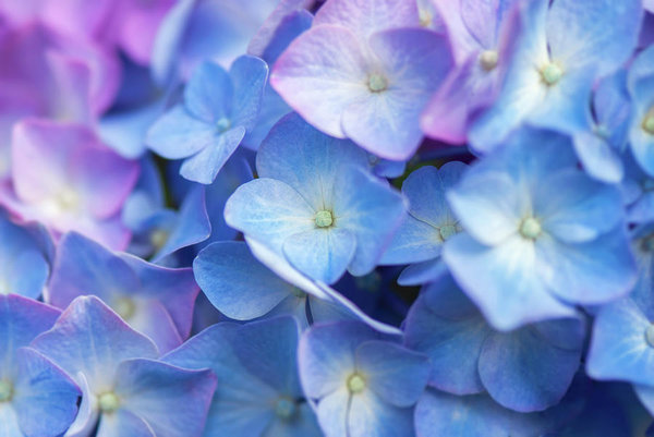 Hydrangea Flowers Art Print Featuring The Photograph Blue Hydrangea Flower Close Up Floral Art By M Blue Hydrangea Flowers Flower Close Up Hydrangea Flower