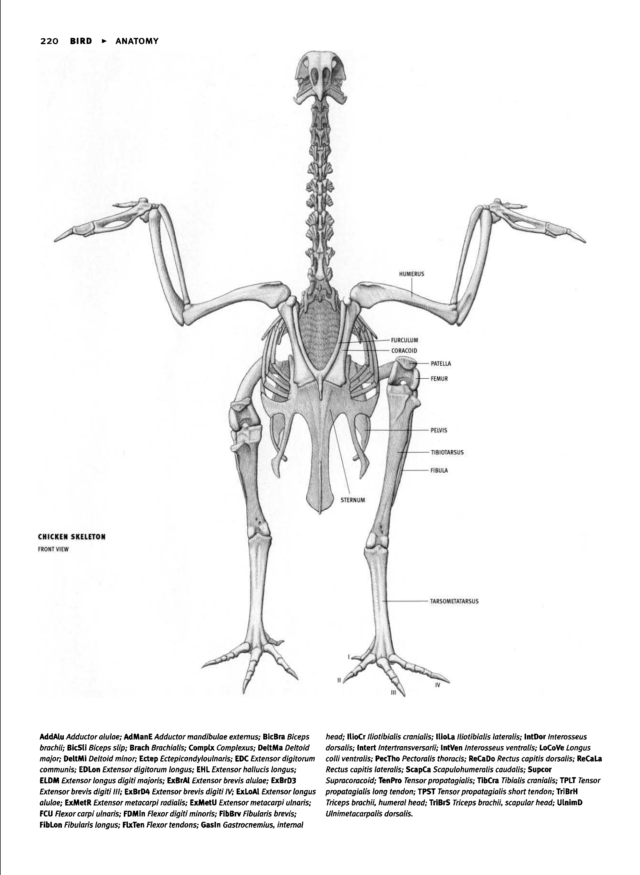 Chicken Skeleton Resources Animals Pinterest Skeletons And