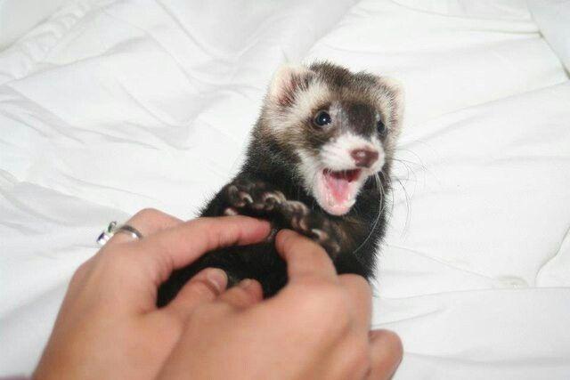 Ferrets from Reddit Ferret, Pet ferret, Cute ferrets