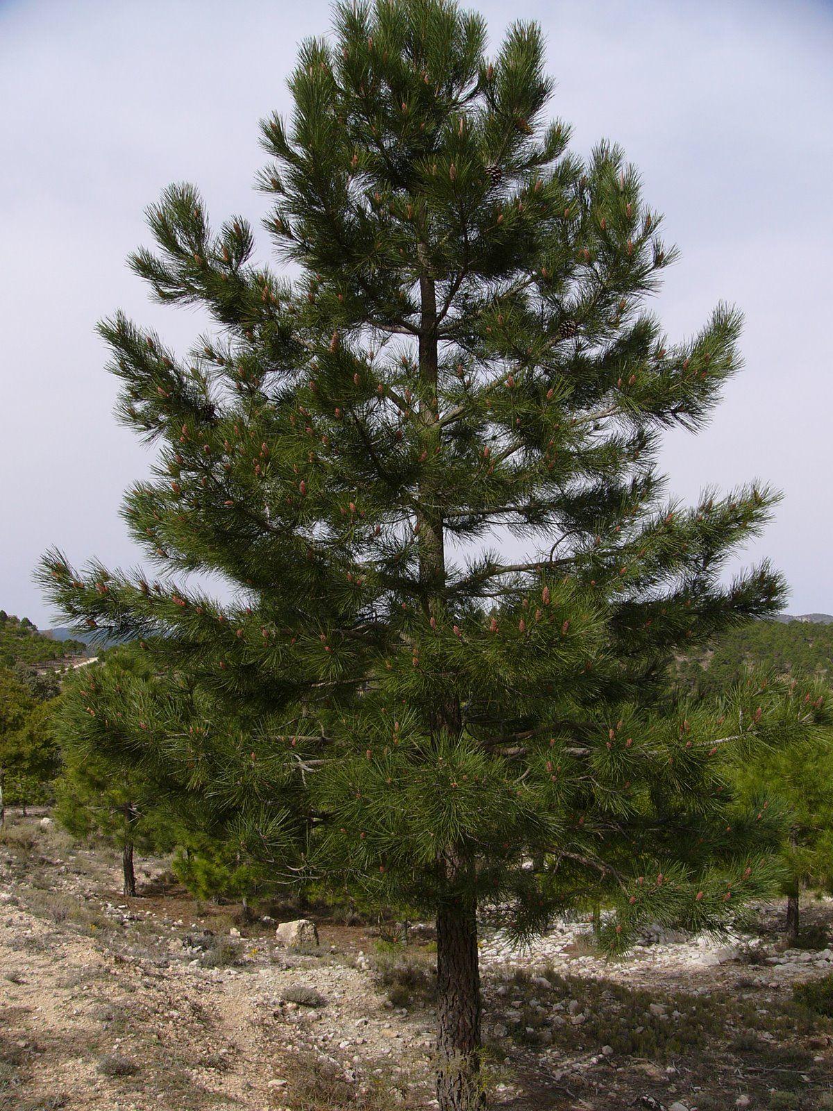 El Pino (Pinus) pertenece al grupo de las Coníferas y habita en ...