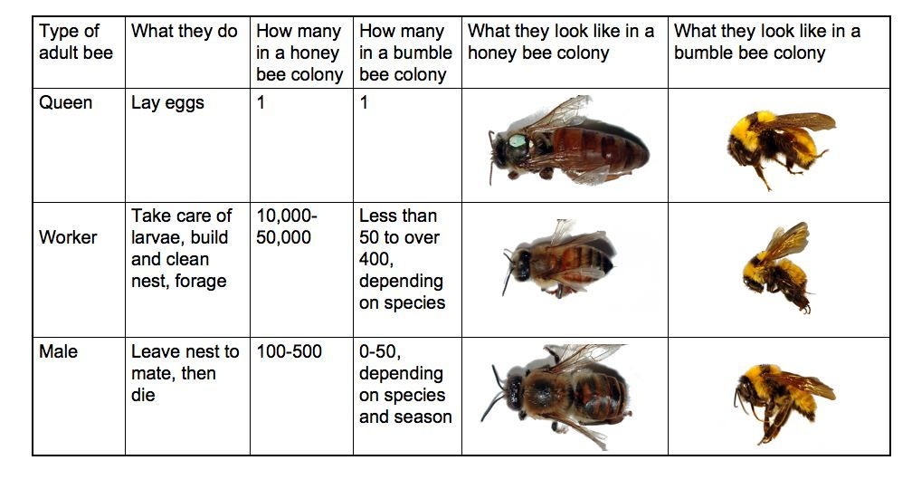 Social life of bees / types of bees | Montessori Zoology | Pinterest ...