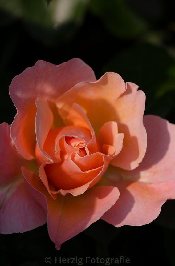 "Rosa ""Marie Curie"" - Rose"