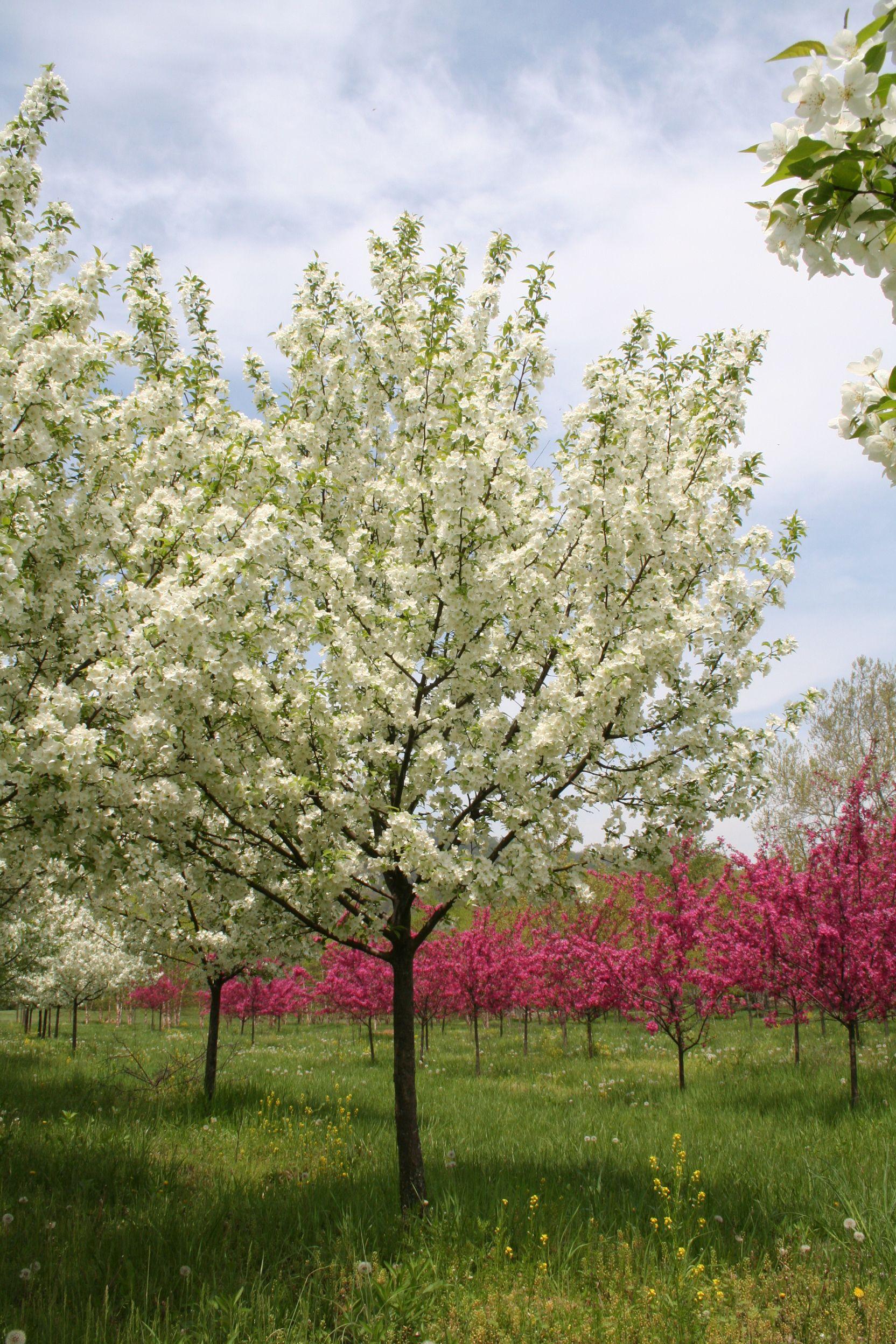 Snowdrift Crabapple Tree Think Spring Pinterest Flowering