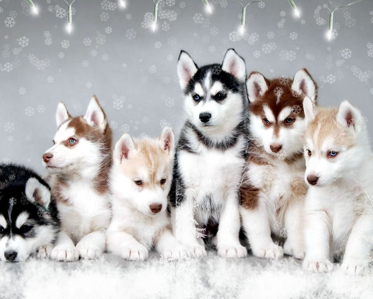 Baby Husky Dog Wallpaper For Android Cute Husky Puppy Dogs