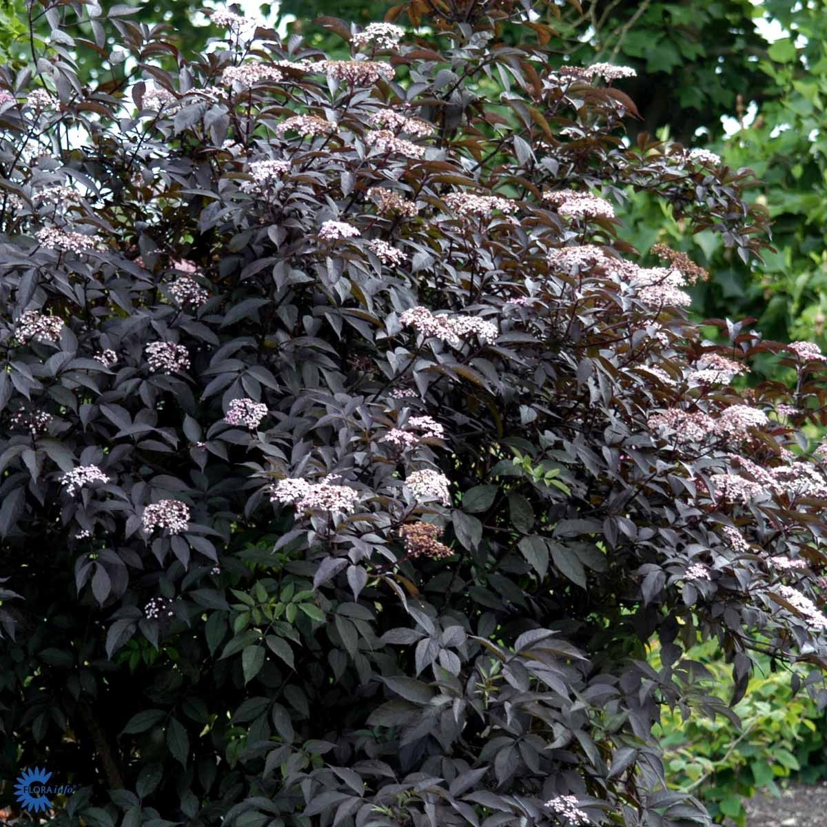 r dbladet hyld sambucus nigra 39 black beauty 39 20 50 cm. Black Bedroom Furniture Sets. Home Design Ideas